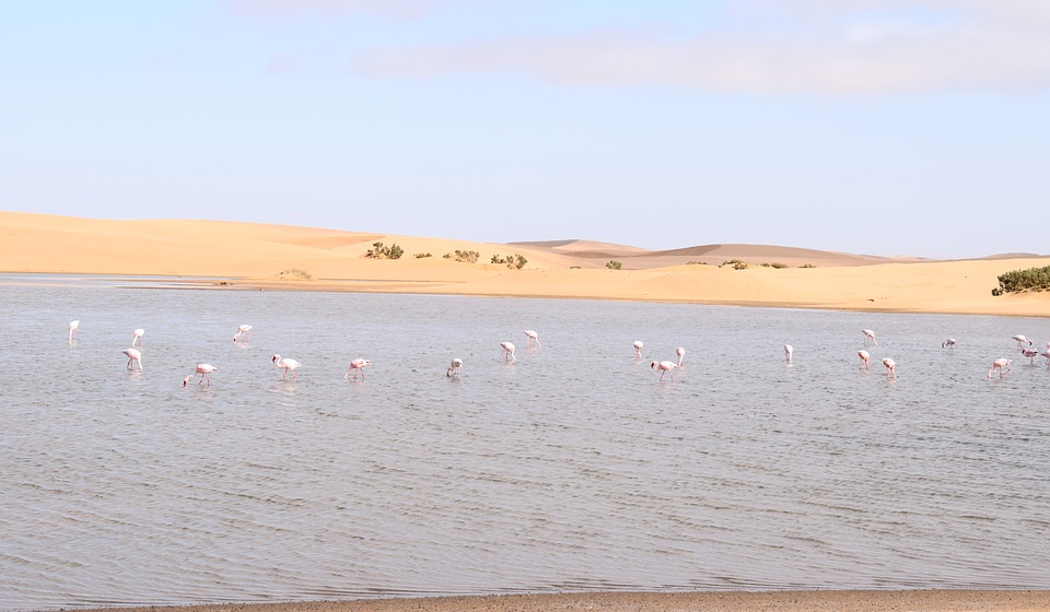 Flamands roses à Walvis Bay