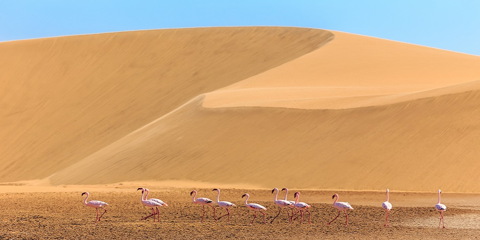 Flamands roses dans le désert de Kalahari